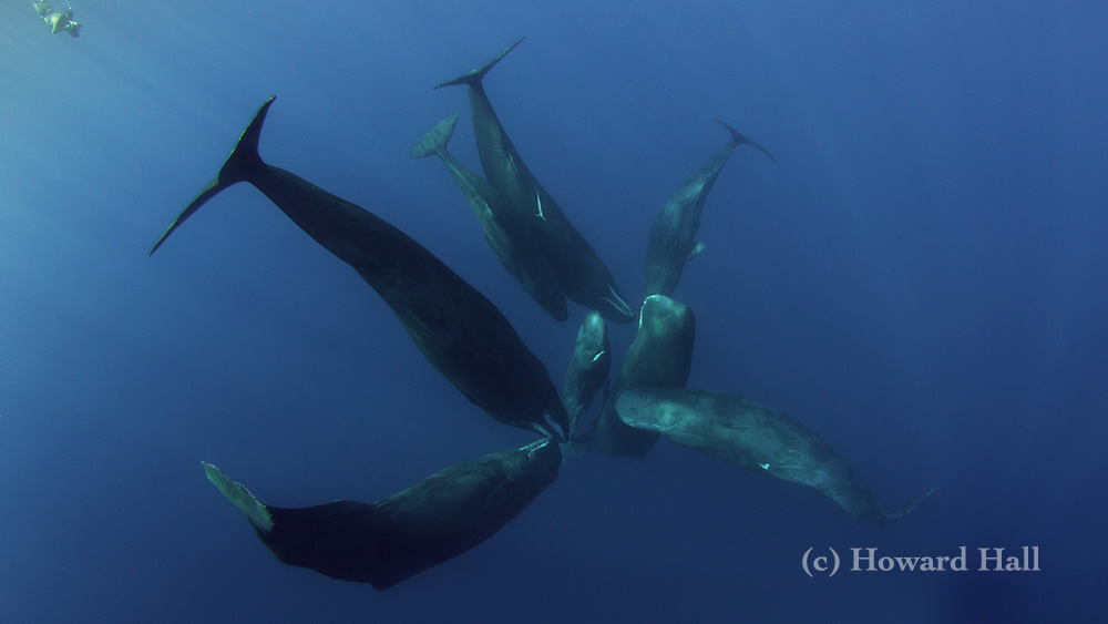 Sperm whales in Dominica December 2010